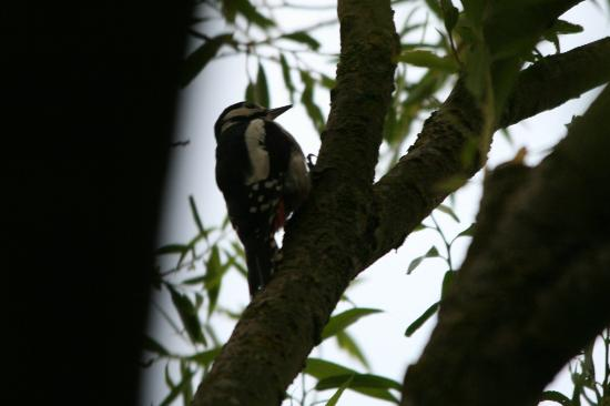 Woodlands B&B: Woodpecker looking for food