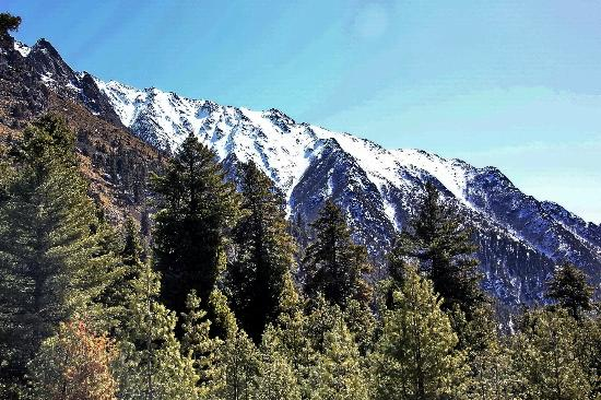 Rakcham : Lush Green forest with snow mountains in background