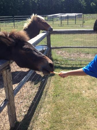 Plum Loco Animal Farm: feeding horses