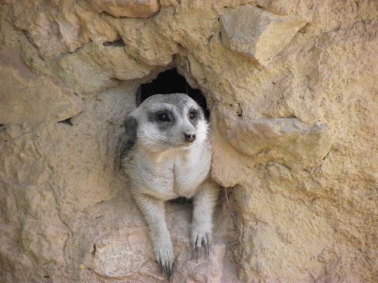 Oasys MiniHollywood: Curious Meerkat