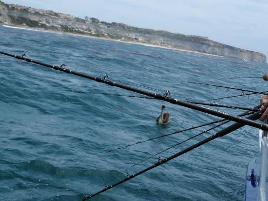 Dana Point, Kalifornia: pelicans begging