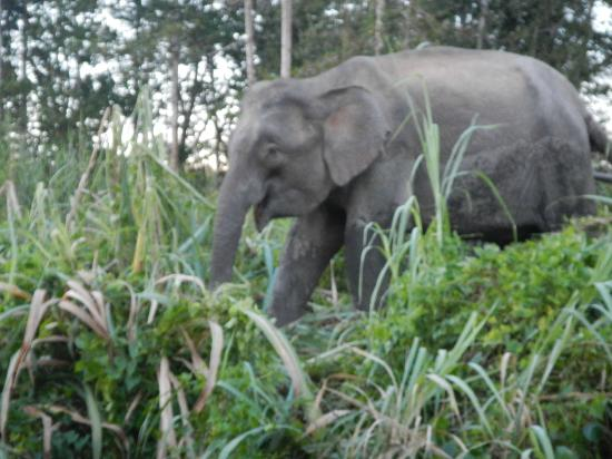 Barefoot Sukau Lodge: Elephants!