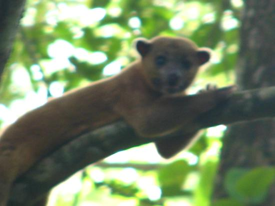 ‪‪Tree of Life Wildlife Rescue Center and Botanical Gardens‬: Kinkajou‬