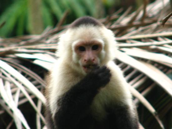 Tree of Life Wildlife Rescue Center and Botanical Gardens: White Faced Capuchin monkey