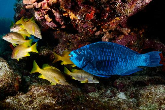 Blue Water Divers: Midnight Blue Parrot and friends