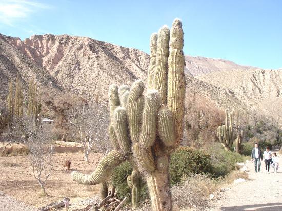 Cactus tipicos del lugar foto di quebrada de humahuaca for Cactus argentina