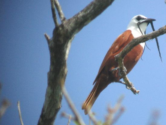 Curi Cancha Reserve : Three-wattled Bellbird