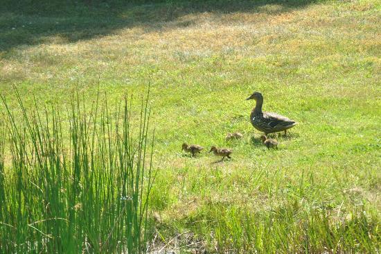 Seahorse Resort: Momma Duck