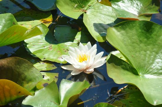 Seahorse Resort: Lily Pond