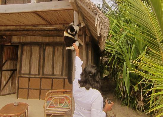 Hotel La Petite Traversee: A resident lemur