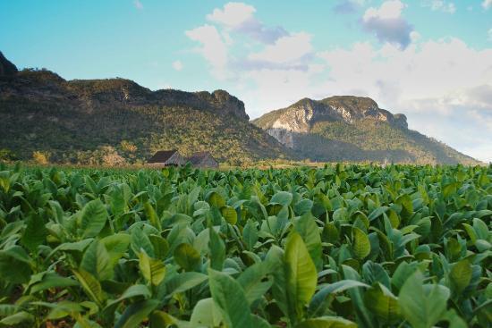 Valle de Vinales: Plantaciones Tabaco Viñales