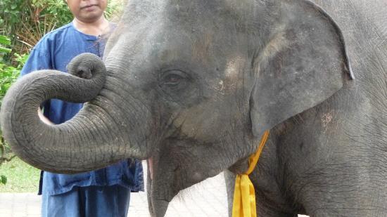 Marina Phuket Resort: The daily visit from the baby elephant
