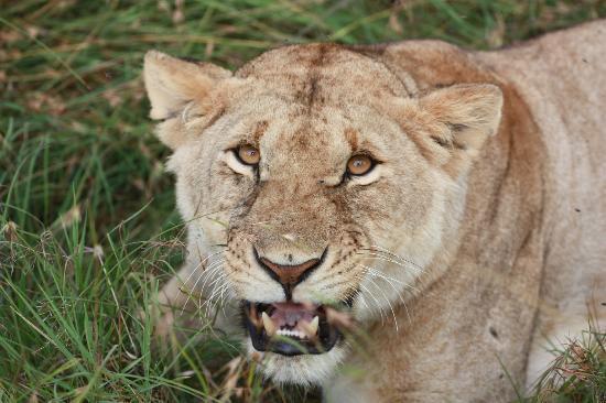 Keekorok Lodge-Sun Africa Hotels: Lions.