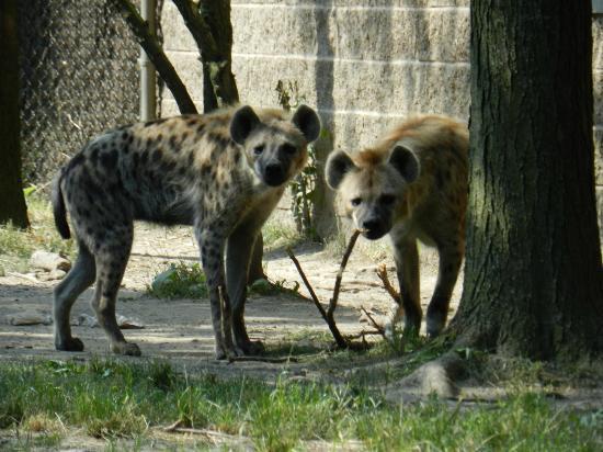 Bronx, NY: 2- Hyenas