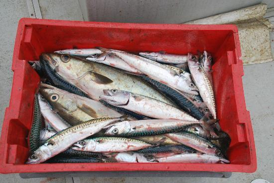 Fish & Trips of St Mawes: Our Catch in an Hour. All of it :)