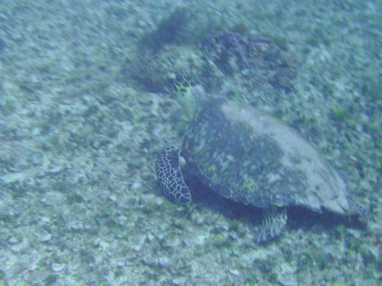 Geofish Dive: turtle