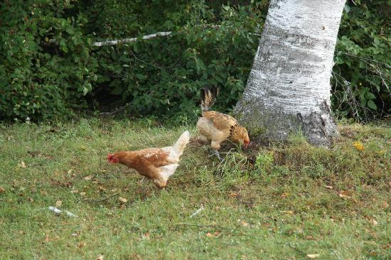 The Inn on Gore Mountain: Free range chickens