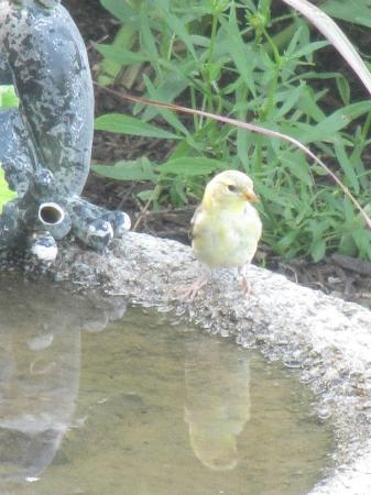 Sutherland Blueberry Bed & Breakfast: a little visitor to the bird bath