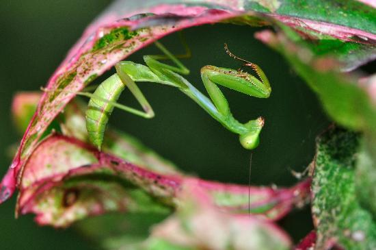 Bloomfield Lodge: Praying mantis in the lodge gardens