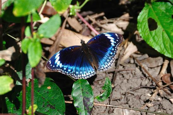 Bloomfield Lodge: Butterfly in the garden (Hypolimnas aliment lamina, blue-banded eggfly, male)
