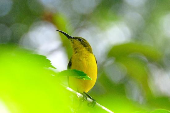 Bloomfield Lodge : The only bird we saw (Yellow-bellied sunbird, Nectarinia jugularis, 11cm)