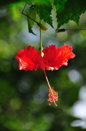 Bloomfield Lodge : One of the many hibiscus plants in the grounds