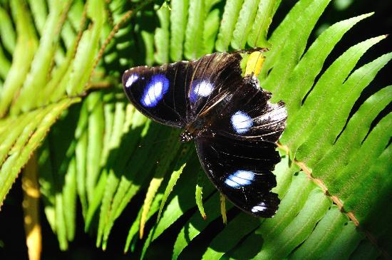 Bloomfield Lodge: Butterfly in the logde gardens (Hypolimnas bolina nerina, common eggfly, male)