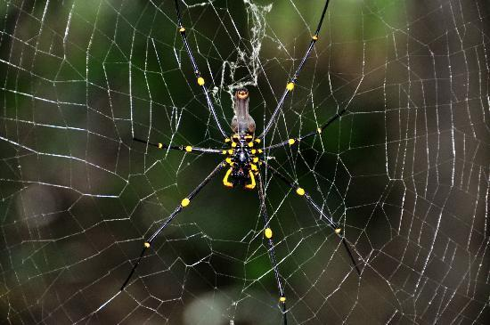 Bloomfield Lodge: Golden orb spider