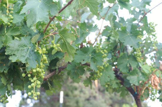 Juniper Well Ranch: Vineyards in the Arizona high desert