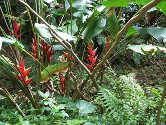 Senator Fong's Plantation and Gardens: Red Heliconia flowers.