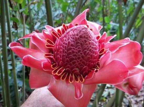Senator Fong's Plantation and Gardens: Torch Ginger flower.