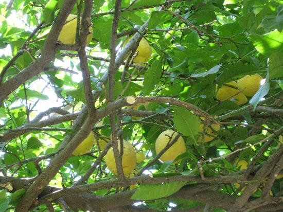 Sultan Palas Hotel: One of the lemon trees