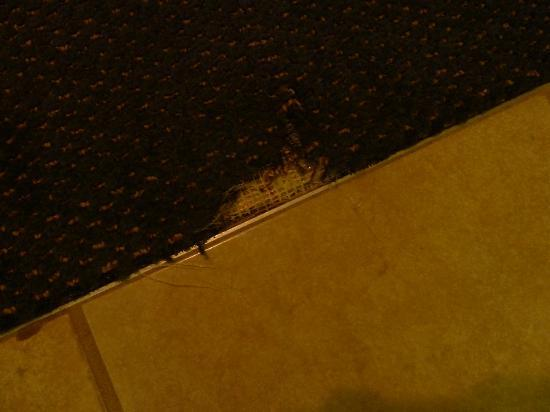 Wingate by Wyndham Bridgeport: Torn carpet