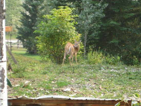 Goldenwood Lodge: Deer grazing on lodge grounds