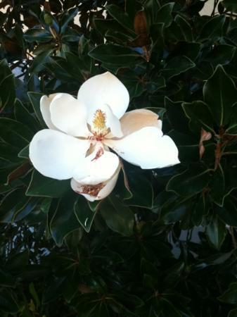 La Quinta Inn & Suites Conroe : Magnolia near entrance. A staff member offered to let us take a flower...very nice!