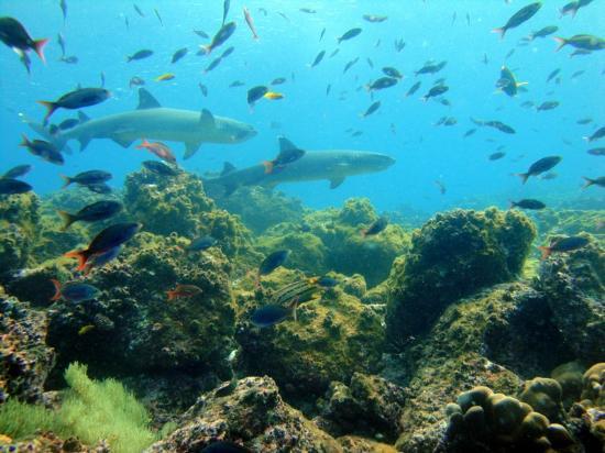 Puerto Baquerizo Moreno, الإكوادور: Tiburones en la corriente 