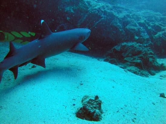 Galapagos Underwater: Tiburon aleta blanca