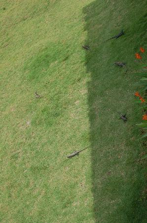 Hermosa Bungalows: Iguanas from the porch