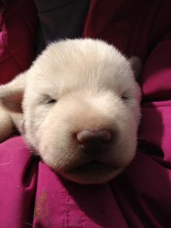 Polar Bear Pup Picture Of Turning Heads Kennel Seward Tripadvisor