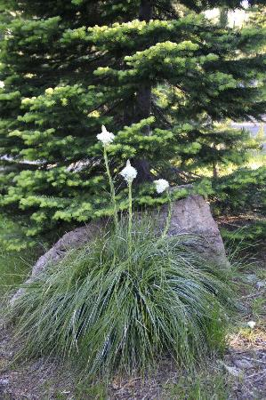 Two Medicine Campground: Beargrass, can take 7 yrs to fully mature