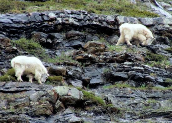 Paradise Lodge & Bungalows: Some mountain goats we saw while hiking up to the teahouse