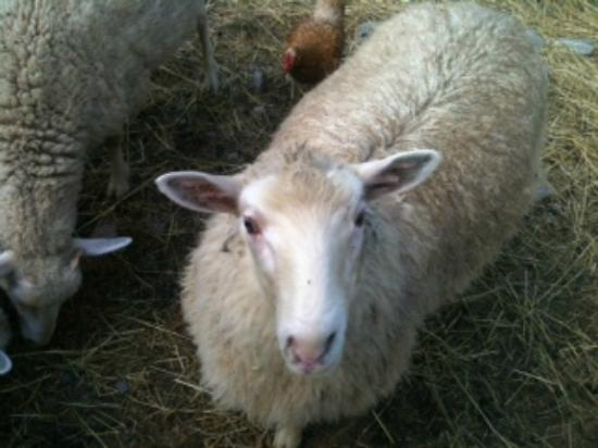 Handsome Brook Farm: Sheep