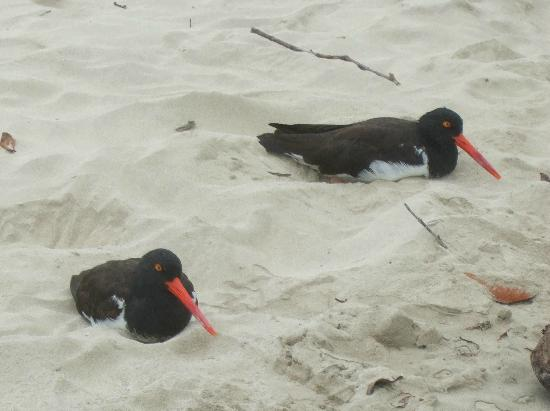 La Casa de Marita: An American Oystercatcher couple on beach outside our room