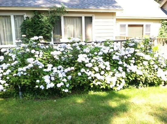 Ocean Gate Resort: Beautiful hydrangeas in bloom all over the grounds.