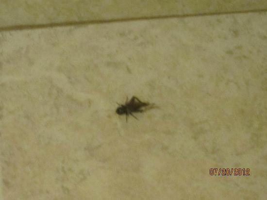 American Inn Memphis: The roach that was dead when I walked in.