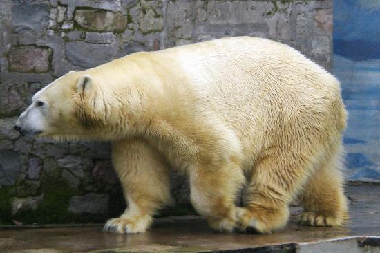 Santiago, Chili: oso polar