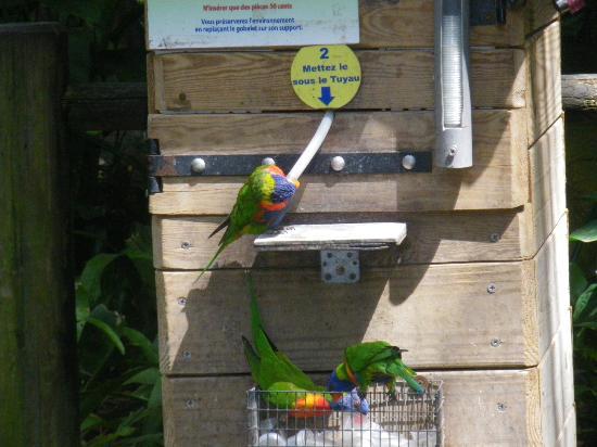 Jardin Botanique de Deshaies: Loriquet de swainson