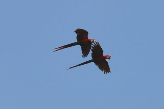 Finca Exotica Ecolodge: A pair of beautiful Scarlet Macaws