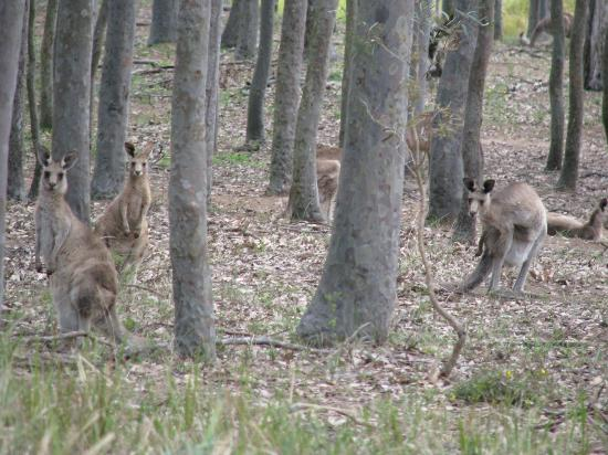 Hill Top Country Guest House: Kangaroos at Hill Top