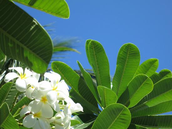 Fairmont Orchid, Hawaii: More plumerias